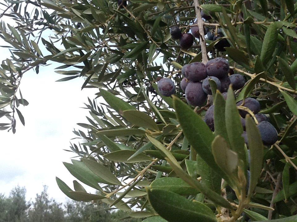 La dignità dell'olivo