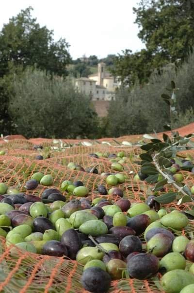 A che punto sono le innovazioni tecnologiche nella filiera dell'oliva da olio e da mensa?
