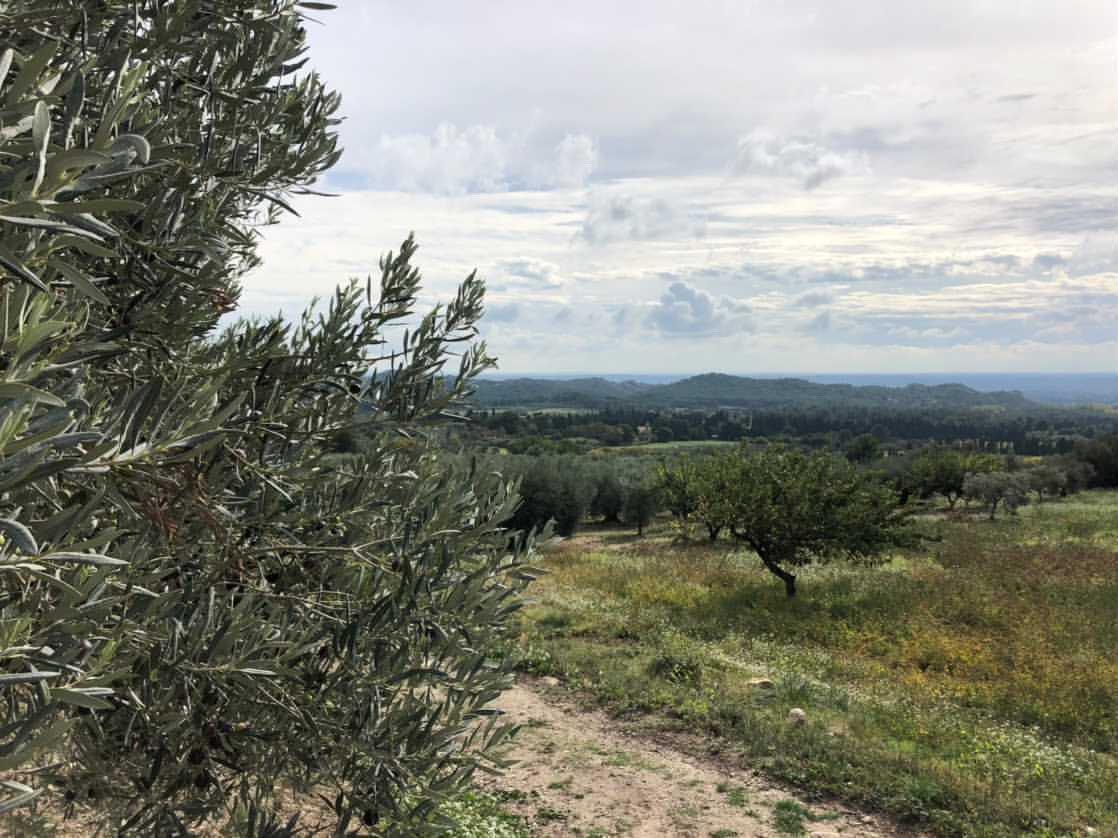 La bellezza degli olivi di Provenza