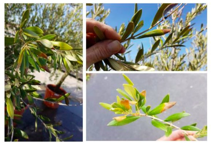 Xylella fastidiosa in Belgio su lotto di olivi provenienti da un vivaio spagnolo: piante già distrutte