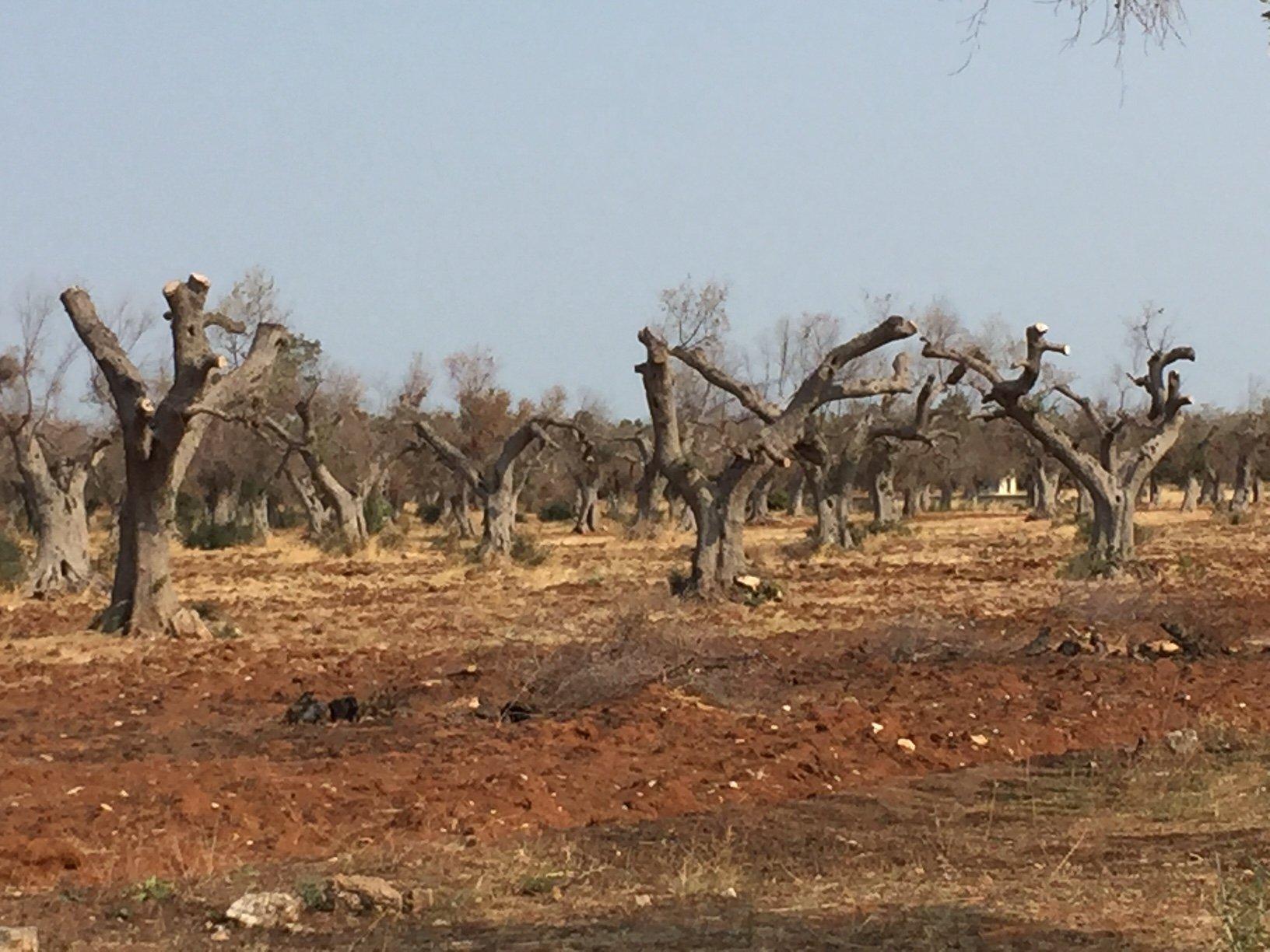 Xylella, via libera del Comitato europeo fitosanitario sulla salute delle piante al reimpianto degli olivi nel Salento
