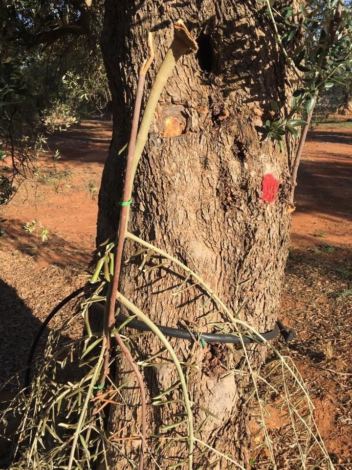 Xylella, atto vandalico: distrutti gli innesti negli oliveti sperimentali del Salento