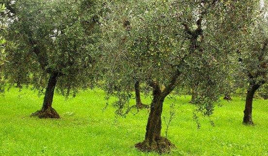 Premio Giorgio Bargioni 2017, il riconoscimento ai migliori potatori di olivi