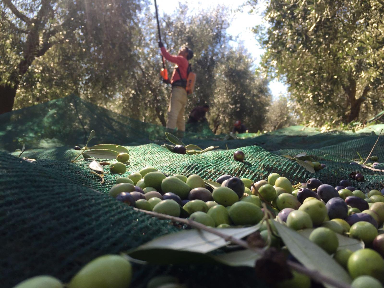 Le olive prima della frangitura