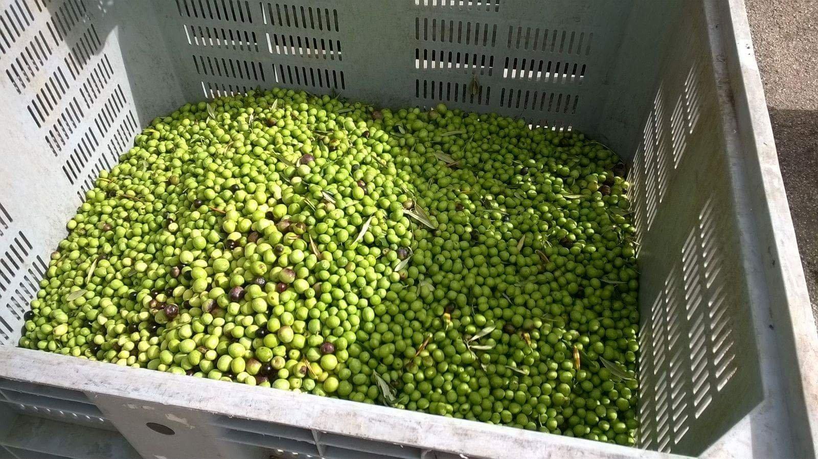 Le olive raccolte a Sciacca