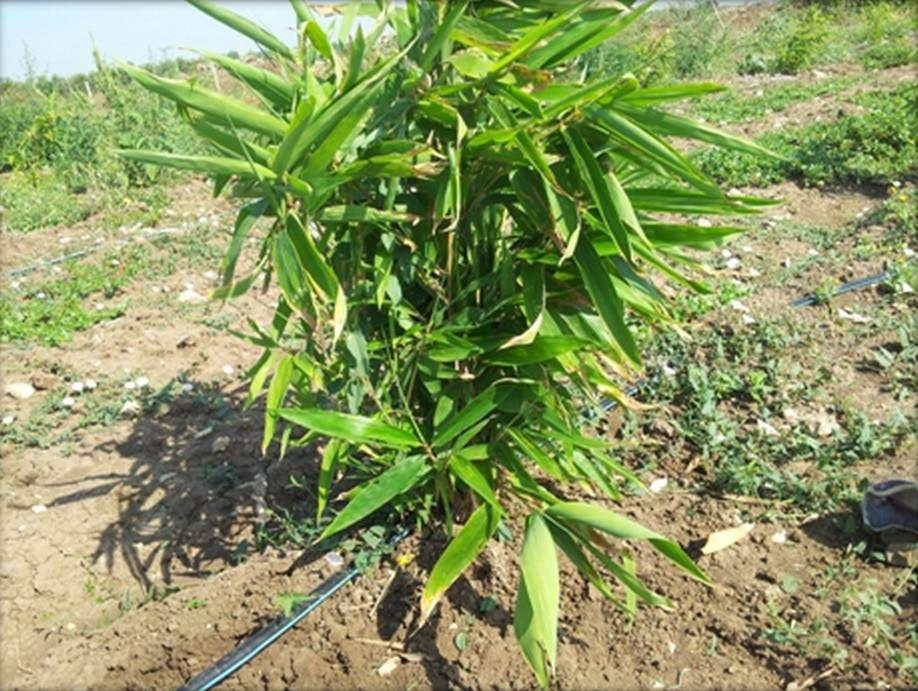 Confagricoltura Taranto lancia il bambù per le qualità ecologiche nelle bonfiche