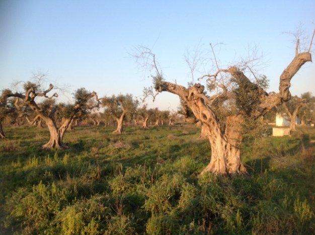 Regione Puglia, approvato disegno di legge su questione Xylella fastidiosa