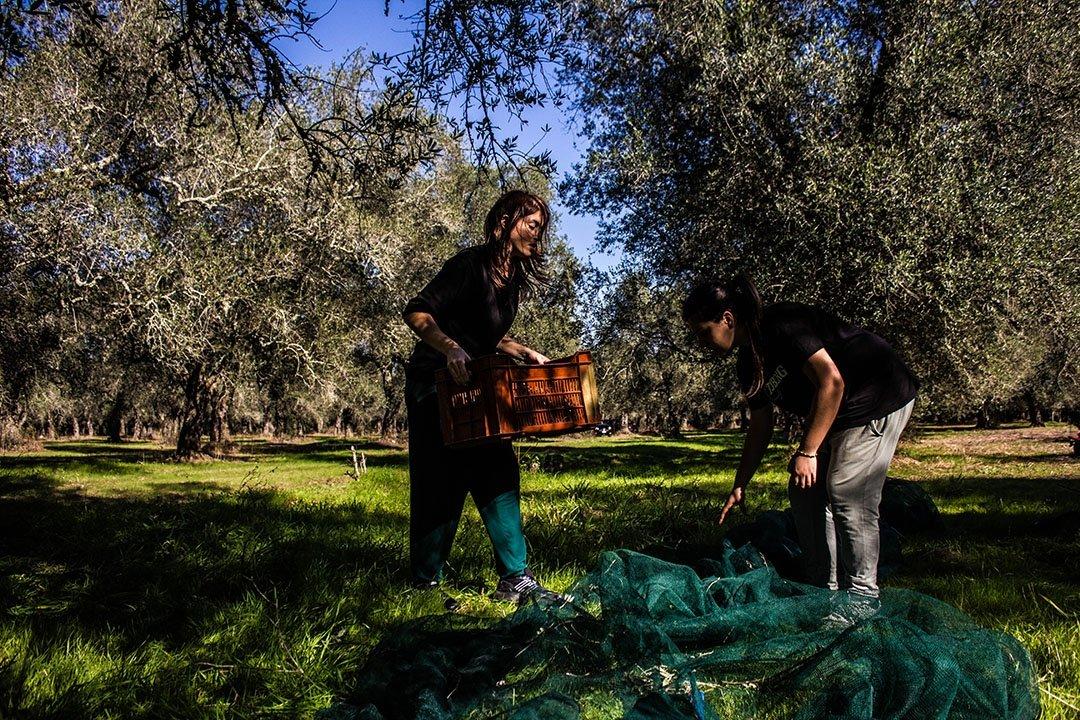 Enovitis in Campo, incontro sul vecchio e il nuovo in olivicoltura
