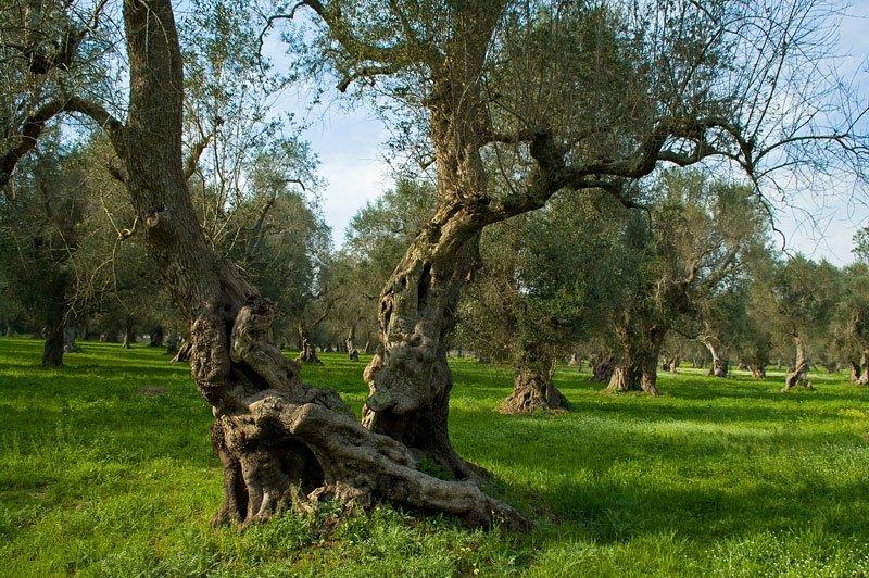 Far ripartire l'Italia olivicola