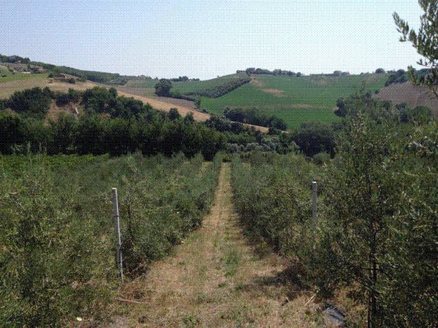Essere olivicoltori moderni