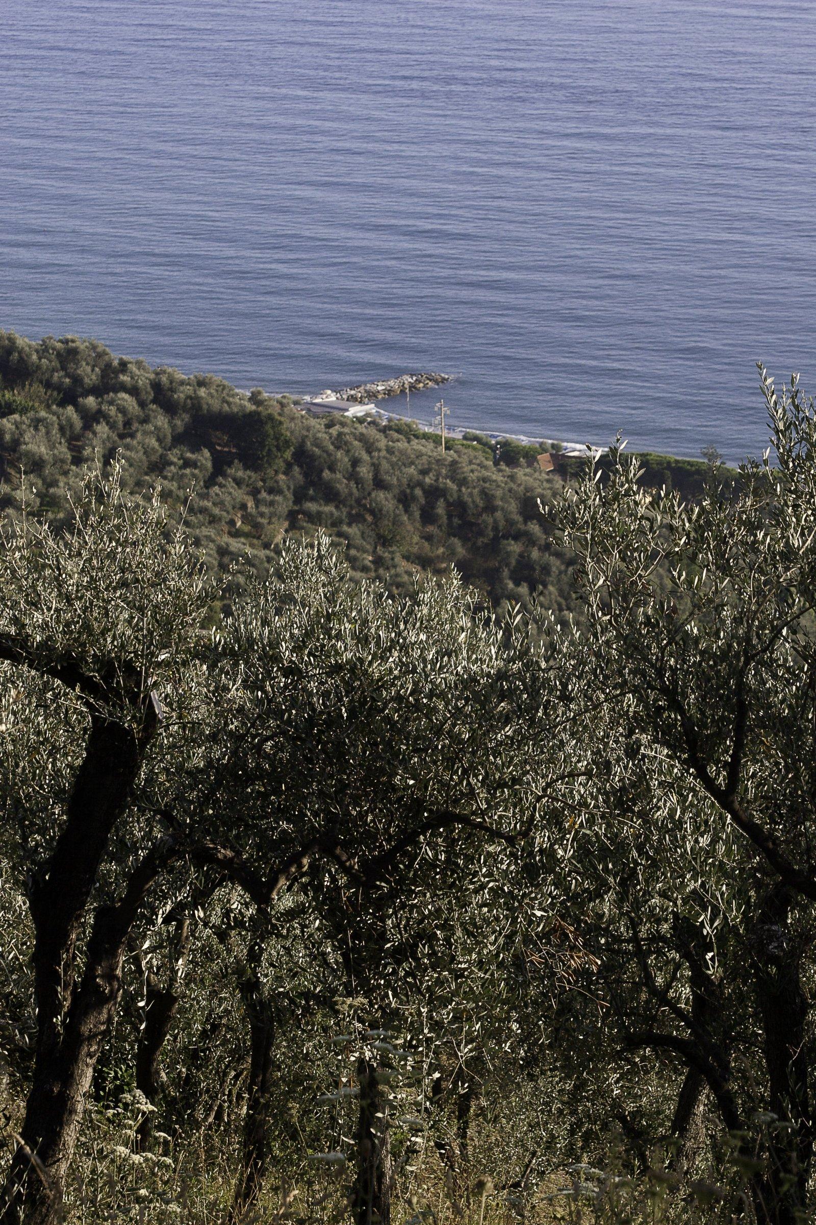 Oro Verde del Tigullio, Liguria: protagonista è la cultivar Lavagnina