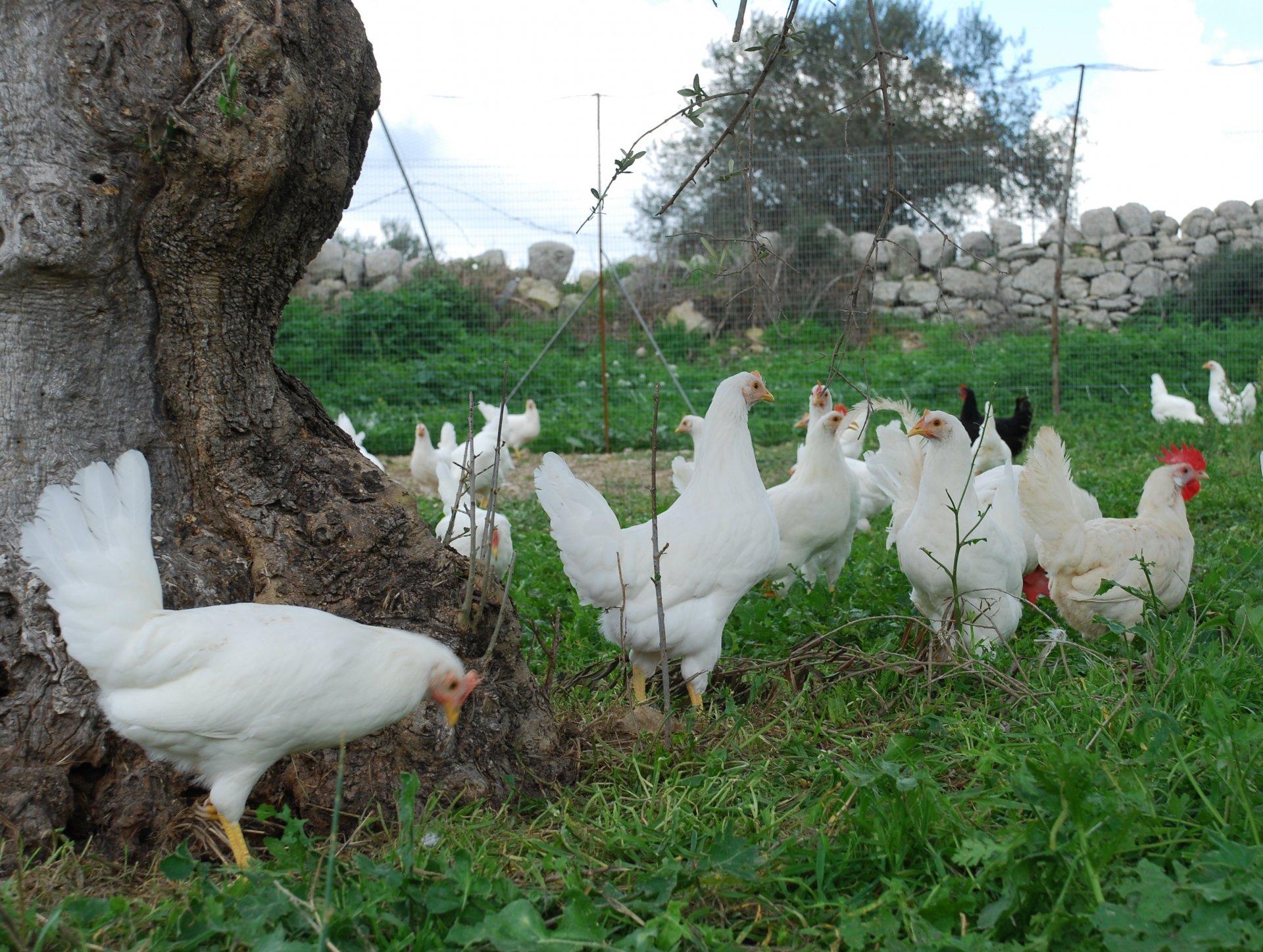Gaia è la gallina
