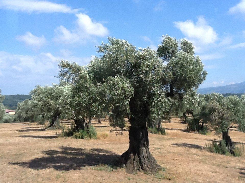 Calabria olearia felix