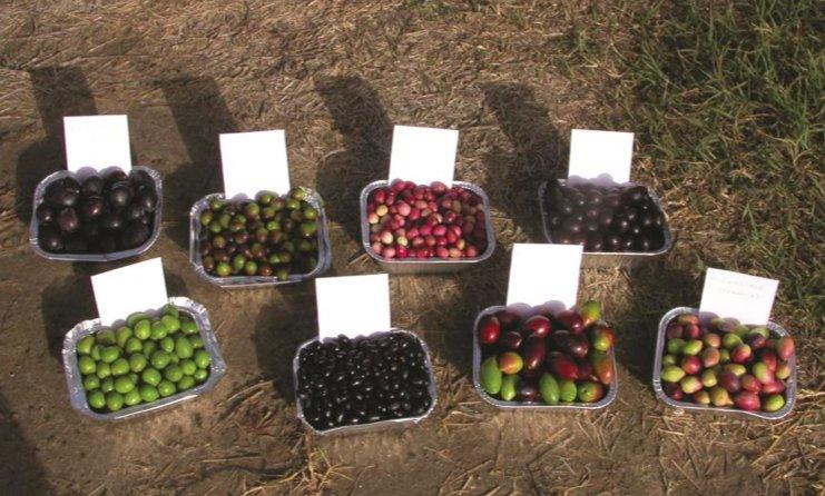 The future of olive germplasm