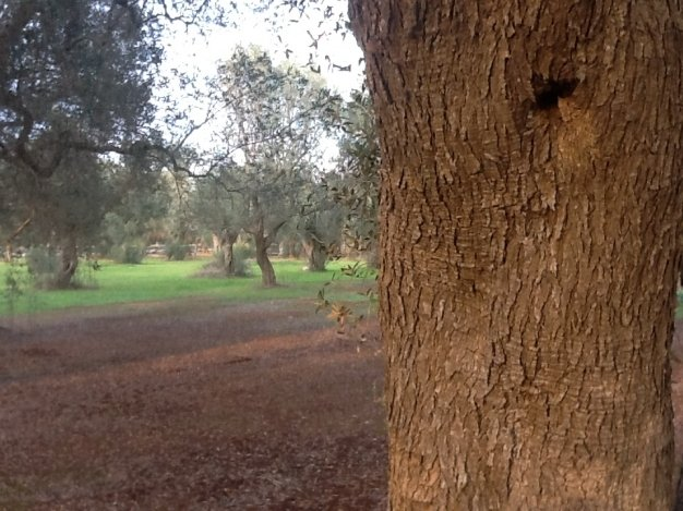 World Olive Day approved by Unesco
