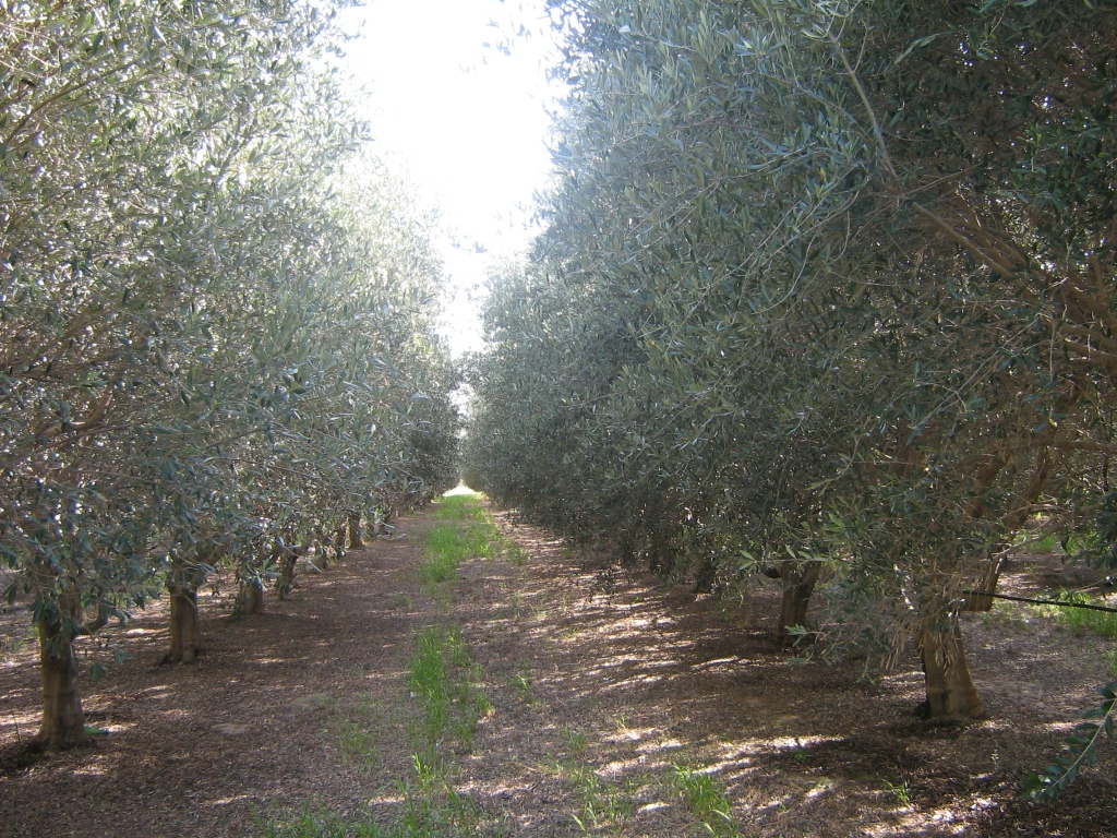 The Latin-American olive sector