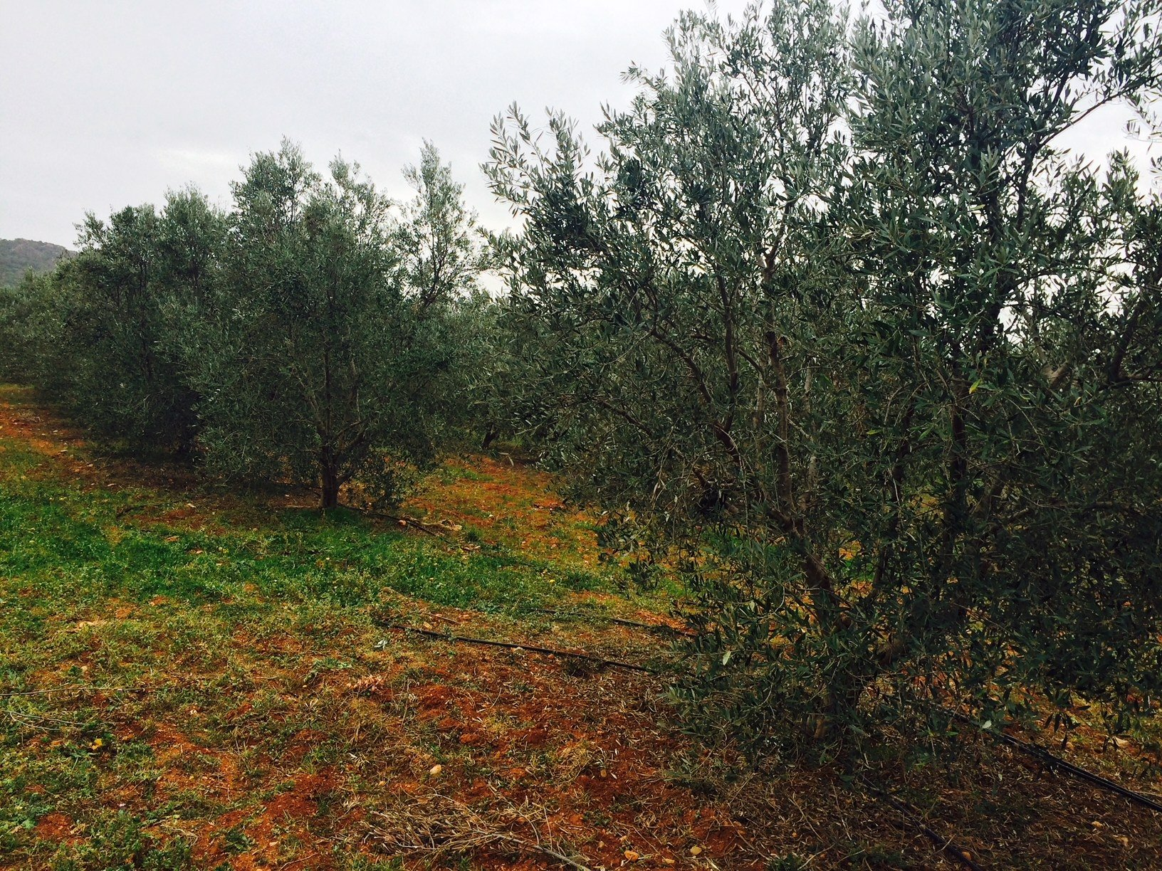 Tunisian olive oil: branching out