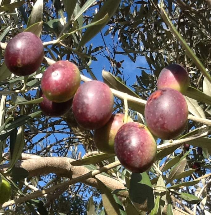 Table olives: estimates for 2015-16
