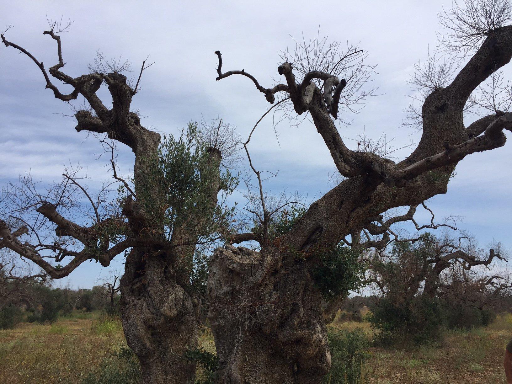 Saranno oltre 68 i milioni di euro per il ristoro disposto per gli olivicoltori del Salento danneggiati dalla Xylella