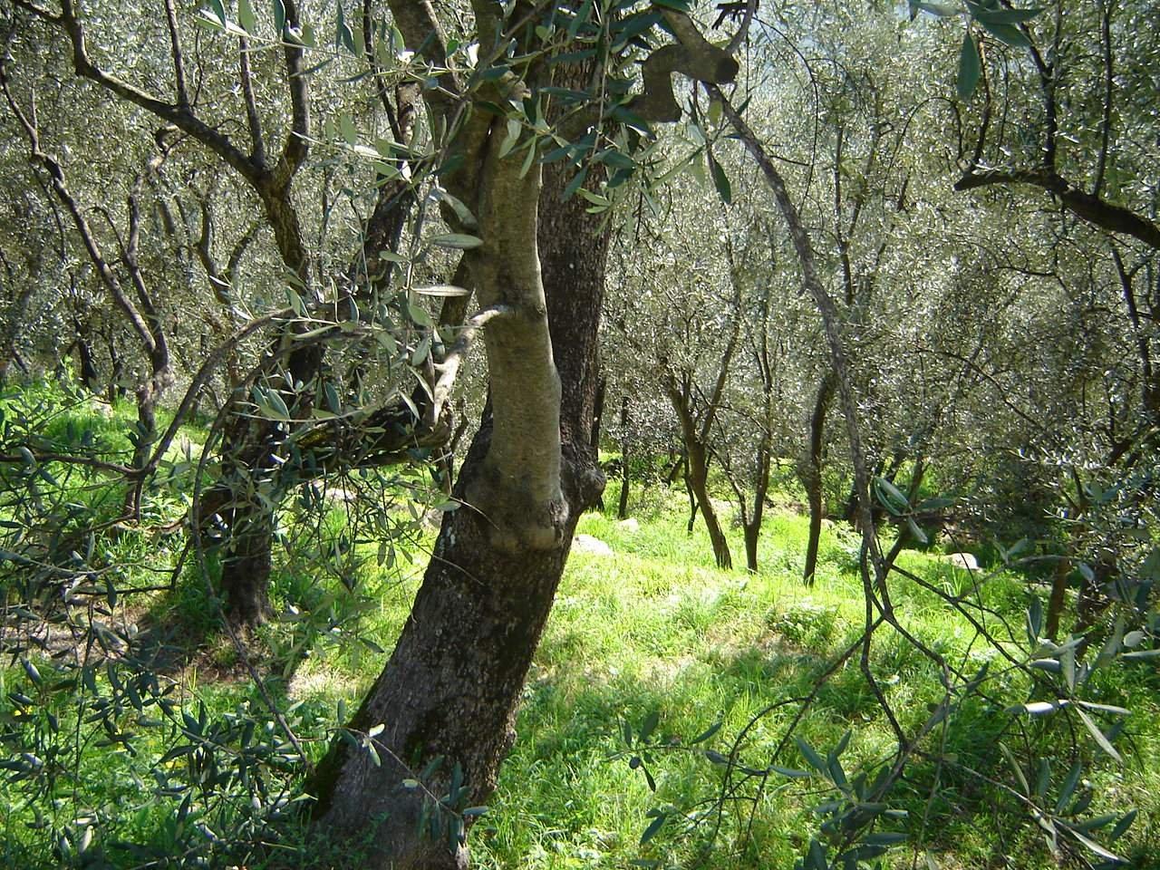 La Liguria olivicola, con i suoi muri a secco, è una regione verticale