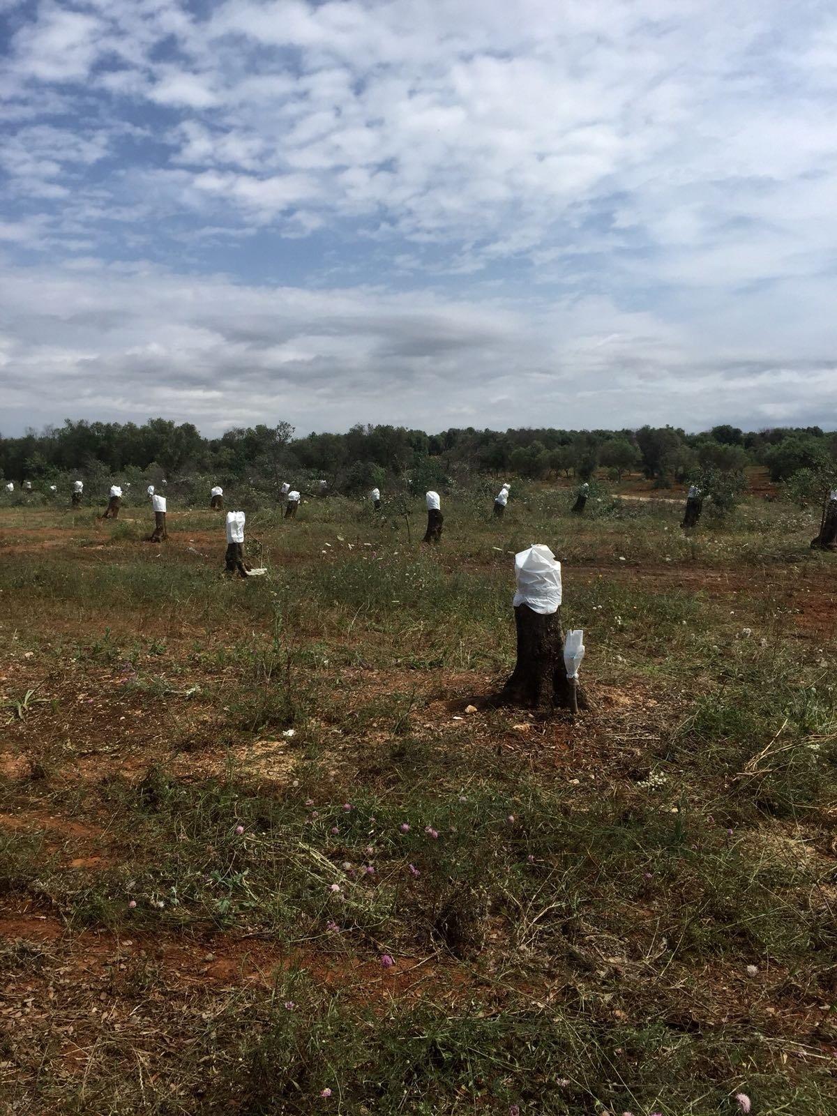 Rigenerazione olivicola nel Salento, Cia Agricoltori Italiani sostiene che molte imprese ne siano rimaste escluse