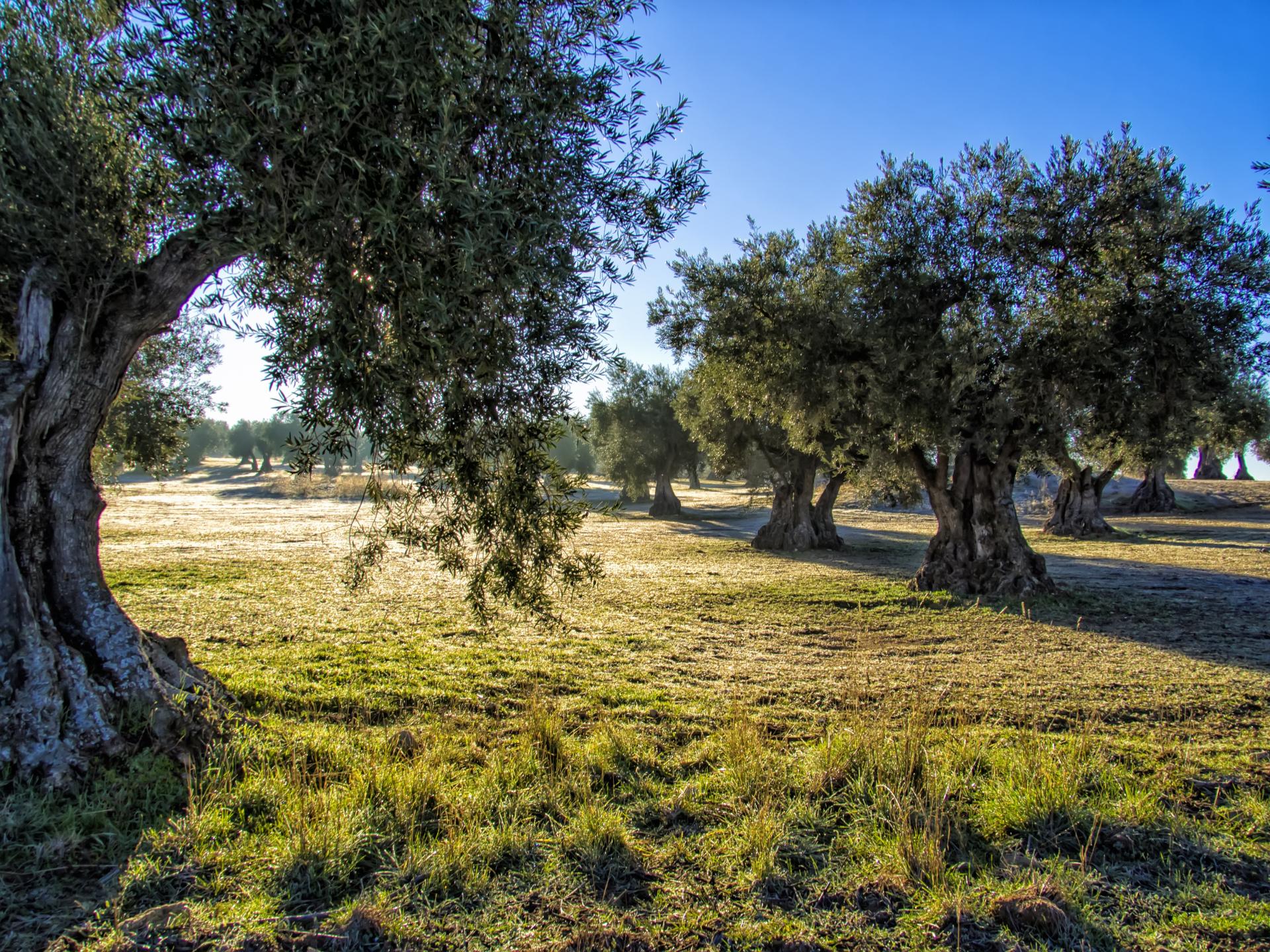 L'oliveto Agresti ad Andria