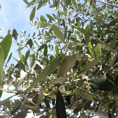 Cielo con olivi in fioritura