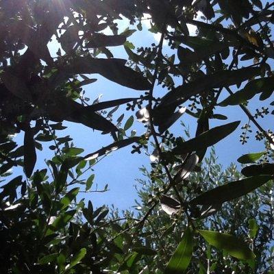 Cielo con olivi e promessa di olive