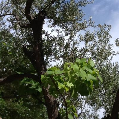 Cielo con olivi e vite abbarbicata