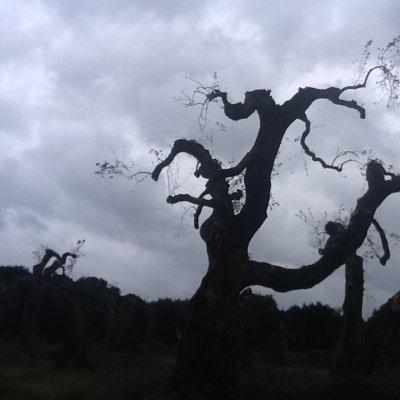 Cielo buio con olivi tristi nel Salento