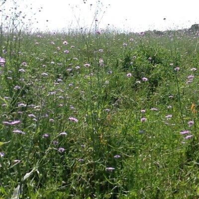 Prato allo stato selvaggio con flora spontanea, in Istria