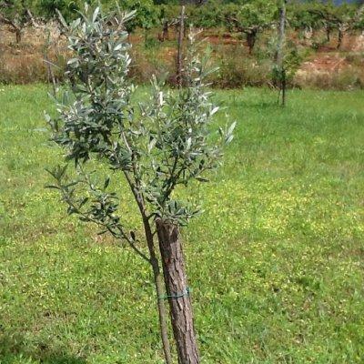 Prato istriano con piccolo olivo