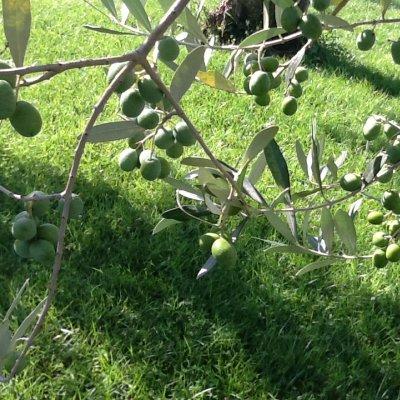 Prato nel parco di un albergo di Assisi con olivi e olive verdi