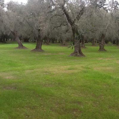 Prato con vista oliveto nel Salento