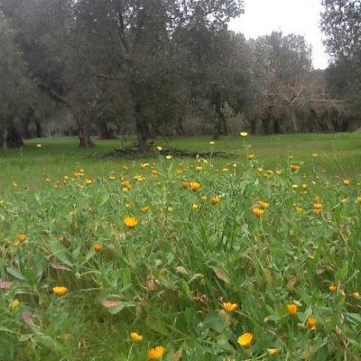 Prato con vista oliveto e fiori nel Salento
