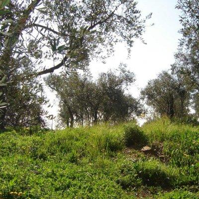 Prato con vista olivi in Liguria, a Imperia