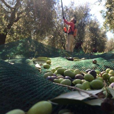 Oliveto Le Trebbiane, Montenero d'Orcia