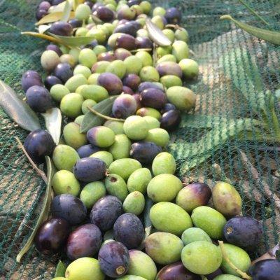 Olive dell'oliveto Le Trebbiane