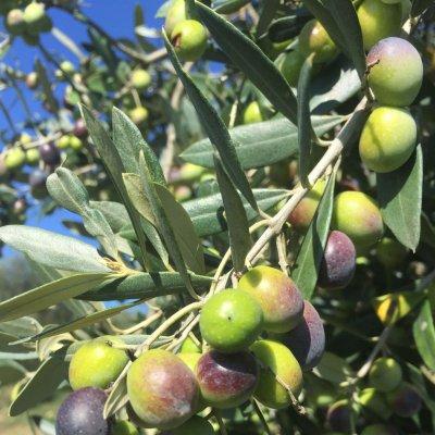 Oliveto Poggio all'Oro, olive Moraiolo
