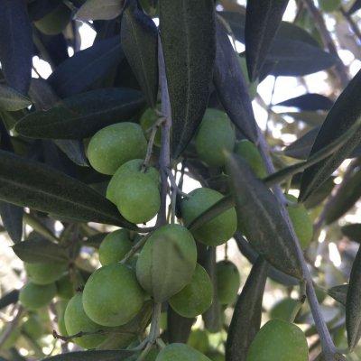 Oliveto Villa Magra, cultivar Frantoio