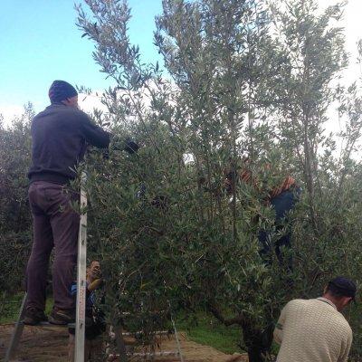 La raccolta delle olive da mensa