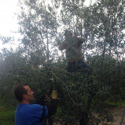 La raccolta a mano delle olive da mensa