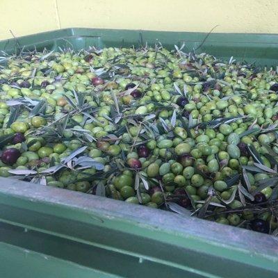 Le olive destinate ala oleificazione