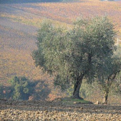 Paesaggio con olivi