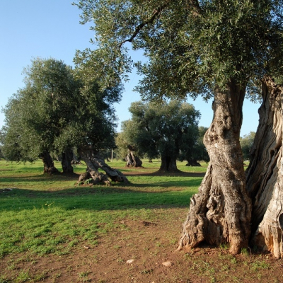Olivi secolari a Ostuni