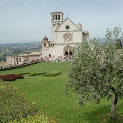 Olivo ad Assisi, nei pressi della basilica di san Francesco