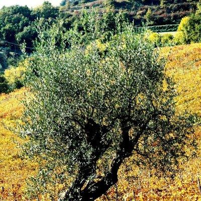 L'olivo tra le vigne