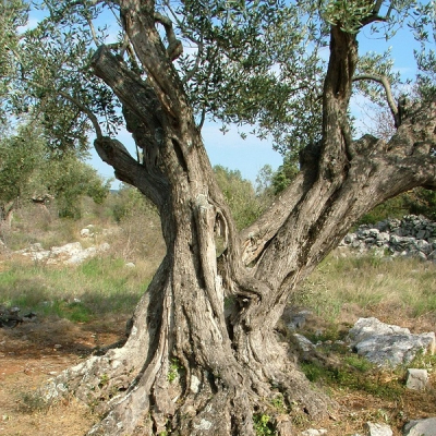 Olivo secolare a Zara, in Croazia