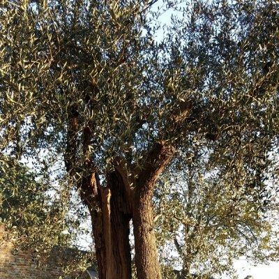 Olivo secolare a Montegridolfo, in provincia di Rimini