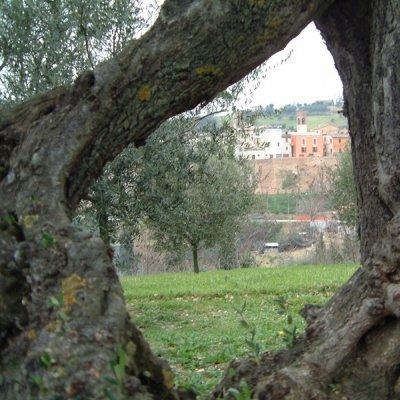 Olivo a Saltara, in provincia di Pesaro e Urbino